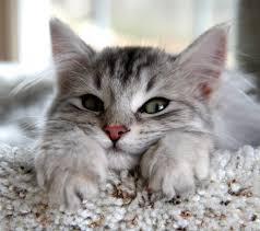Pisica Siberiana , Foto: islambosna.ba