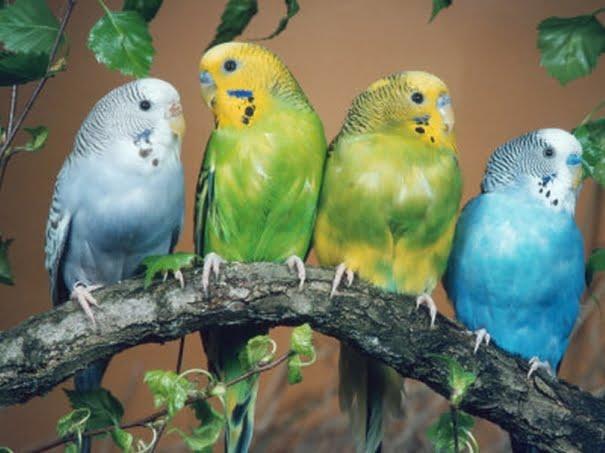 Papagalii perus