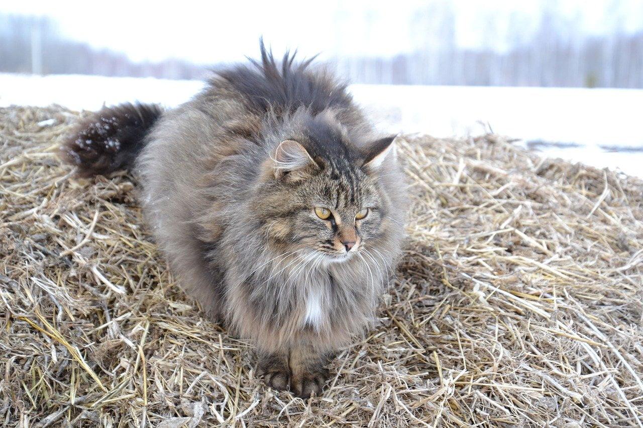 pisica siberiană