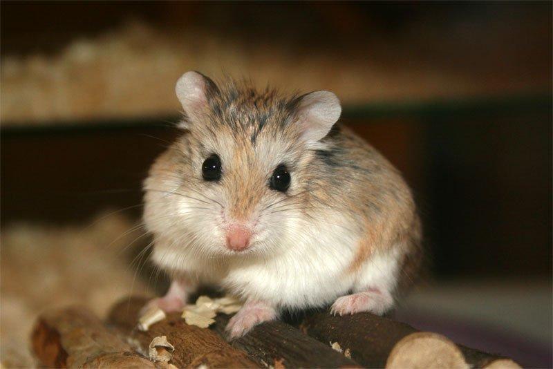 Hamsterul Roborovski