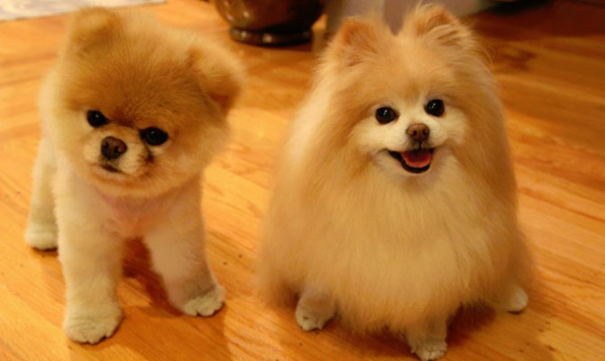 Pomeranianul Boo Foto Www Cancan Ro