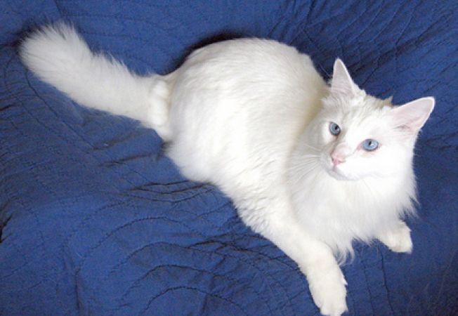 Pisica Angora turceasca Foto: casa.acasa.ro