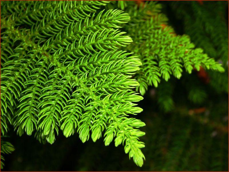 Araucaria heterophylla, Foto: harishjhariasblog.blogspot.com