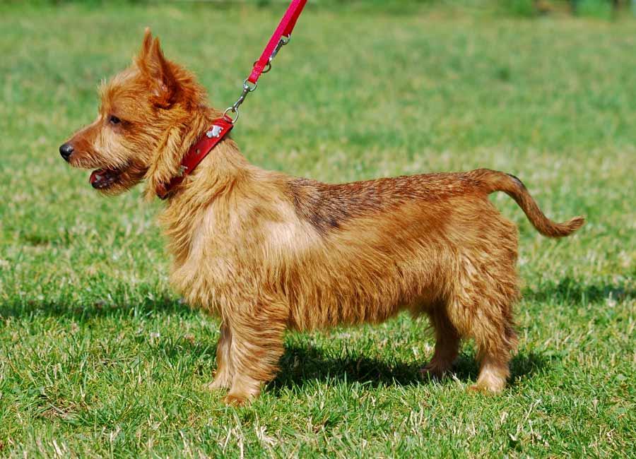 Terrier Australian Foto: www.dogbreedstandards.com