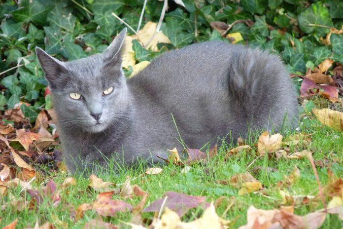Căminul tău contează pentru pisicile din rasa Korat - iată de ce să ți cont