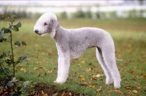 Cainele Terrier Bedlington , Foto: free-pet-wallpapers.com