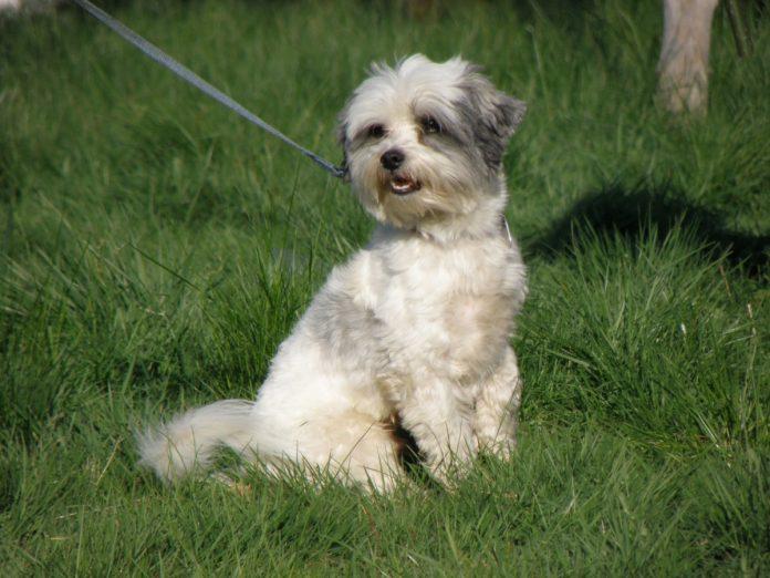 Câinele Dandi Dinmont Terrier - sensibil, vigilent și curios peste măsură