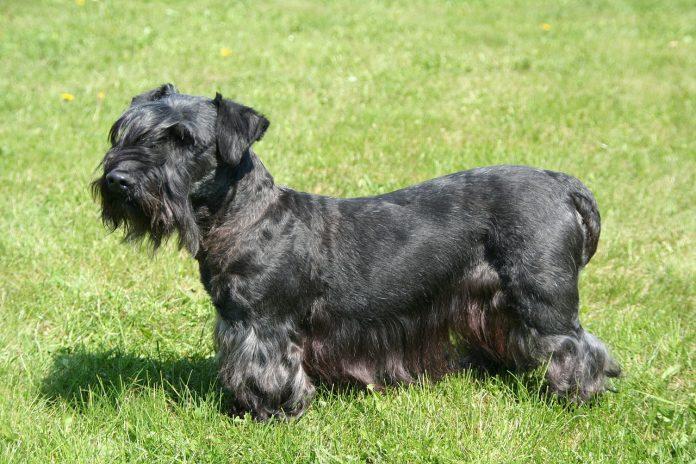 Ce trebuie să știi despre pretențiile îngrijirii unui câine din rasa Terrier de Boemia