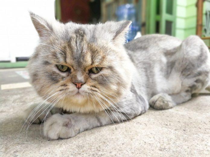 """Exotic Shorthair - Pisica mai poartă și denumirile de """"persana în pijamale"""""""