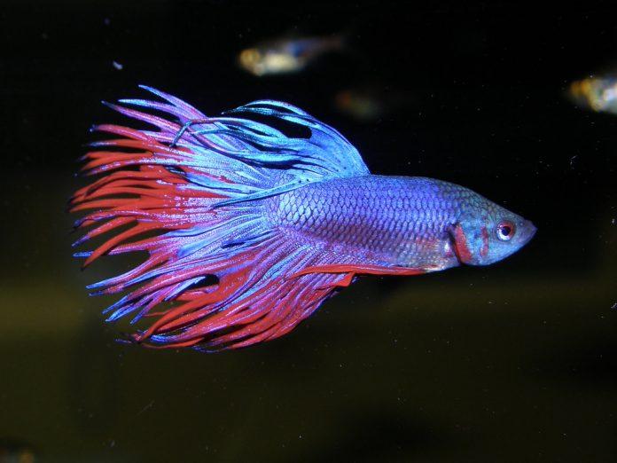Peștii Betta Splendens - peștele de acvariu cunoscuti sub numele de pești luptători siamezi