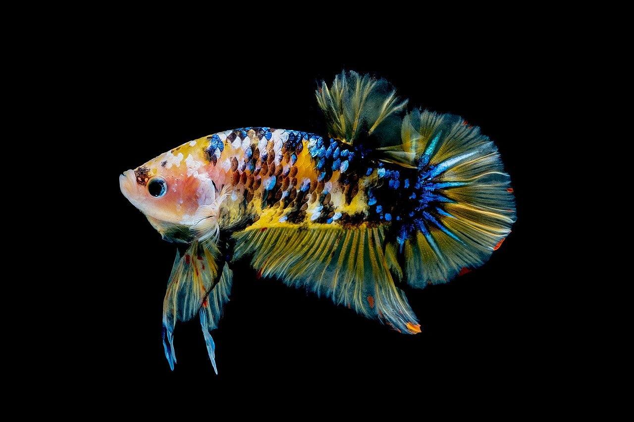 Peștii Betta Splendens