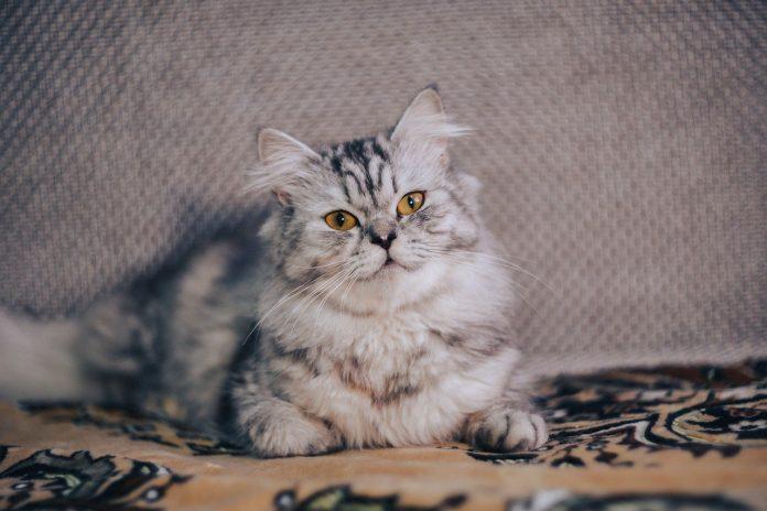 Pisica Persană sau pisica aristocrată - cea mai populară rasă de pisici la nivel mondial