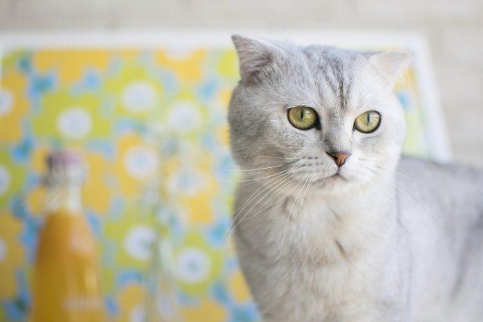 Pisica Scottish fold - vedeta reclamelor televizate