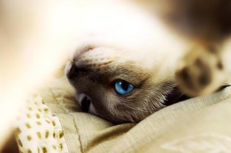 Rase de pisici - Tonkineze, Foto: meu.lt