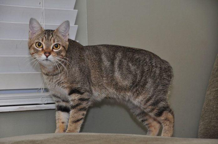 Pisicile Manx - iată ce legende s-au creat în jurul acestei rase de pisici