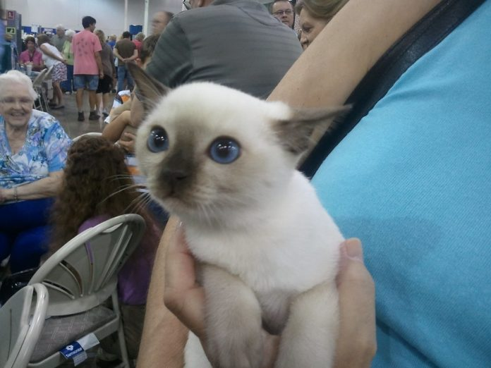 Rasa Tonkineze - pisica cu cele mai surprinzătoare nuanțe de culori