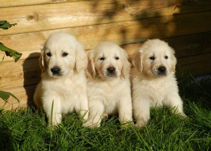 Rasa de câini Golden Retriever - probabil cei mai îndrăgiți câini