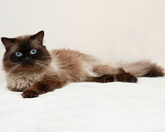 Rasa de pisici Himalayana - un animal de companie plin de eleganță
