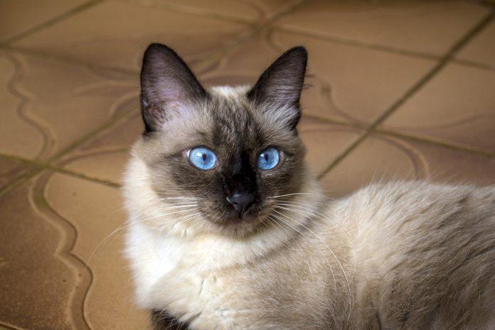 Siameza - cea mai cunoscută rasa de pisici care a cucerit inimile iubitorilor de feline