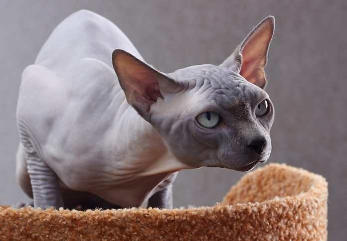 Sphynx - cea mai ciudată rasă de pisici din lume