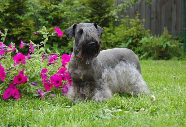 Terrierul de Boemia, Foto: estetclassic.com
