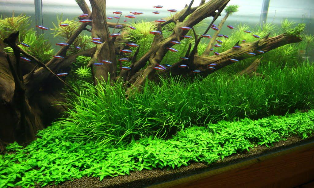 Plantele de acvariu Foto: www.aquascaping-blog.com