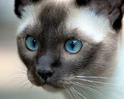 Pisica Tonkineze, Foto: meu.lt