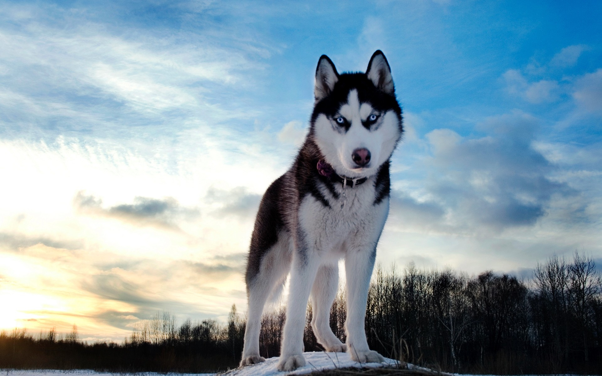 Husky Siberian Foto: background-pictures.picphotos.net