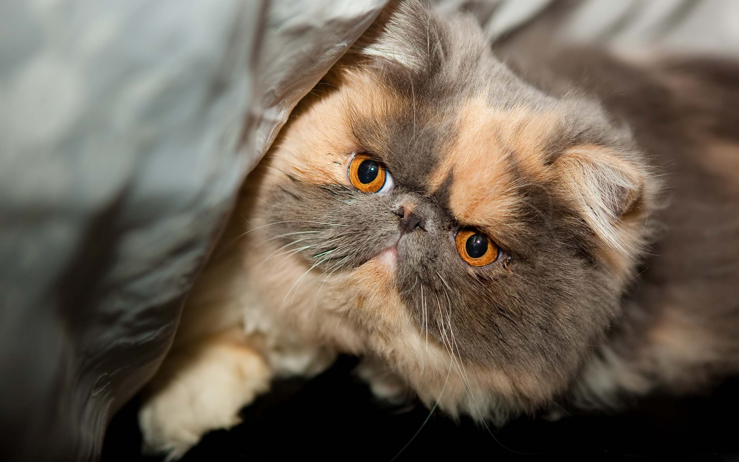 Exotic Shorthair Foto: animal.venmages.com