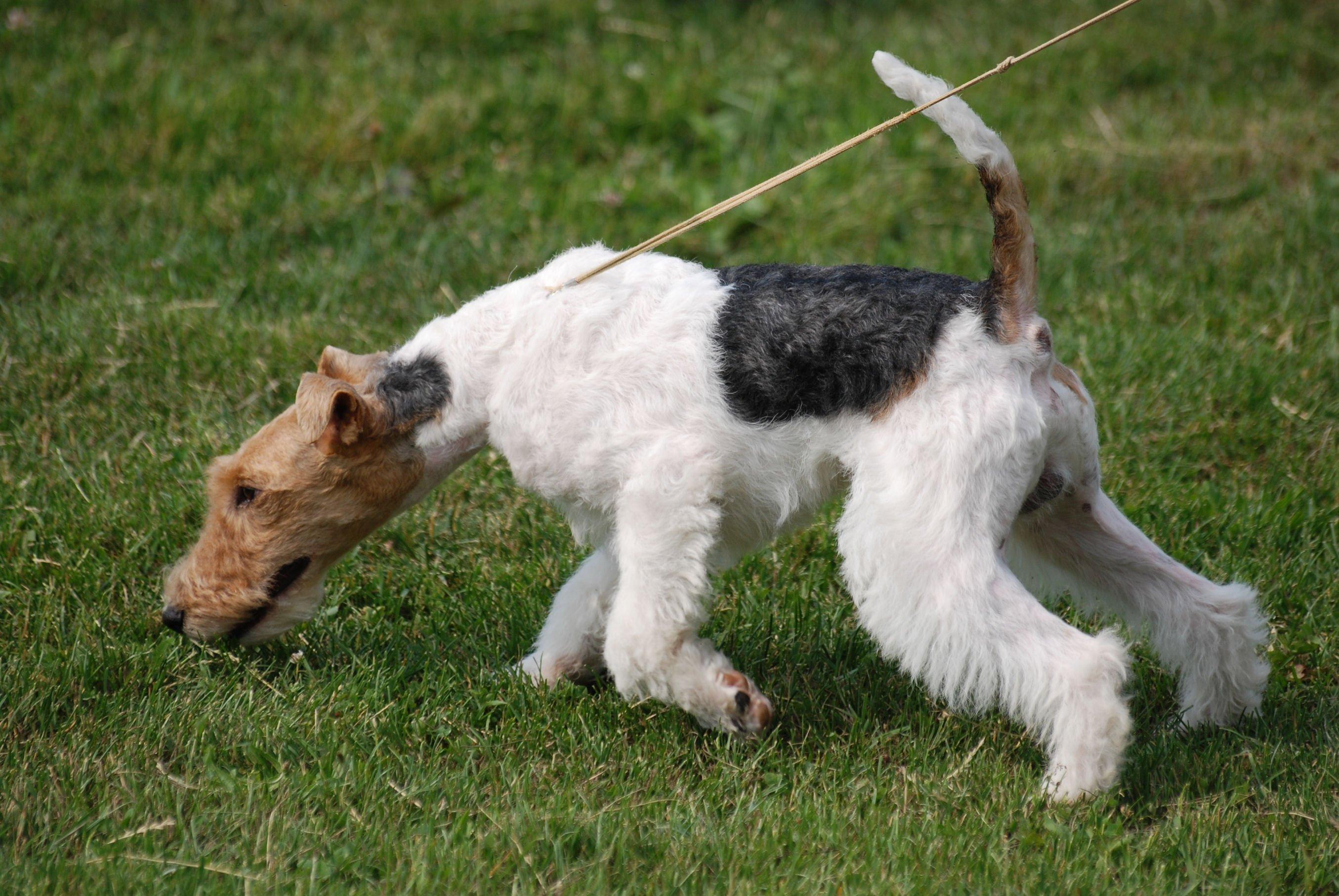 Fox Terrier-ul Sarmos Foto: psieforum.com
