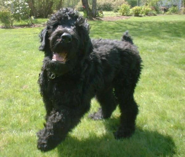 Terrierul negru rusesc, Foto: free-pet-wallpapers.com