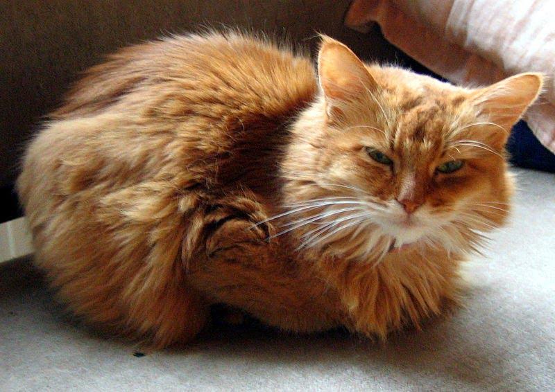 Pisica Somaleza Foto: pozecurasedepisicianimale.blogspot.com