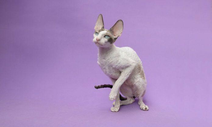 Pisica din rasa Cornish Rex - pisica elegantă cu blanița ondulată