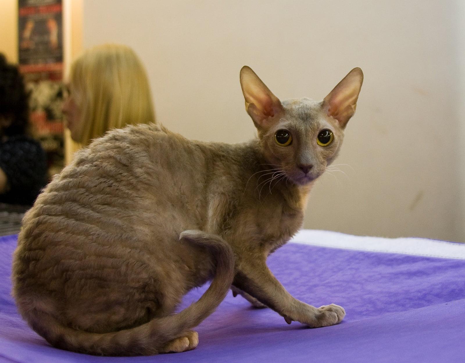 Pisica Cornish Rex Foto: www.pozecuanimale.com
