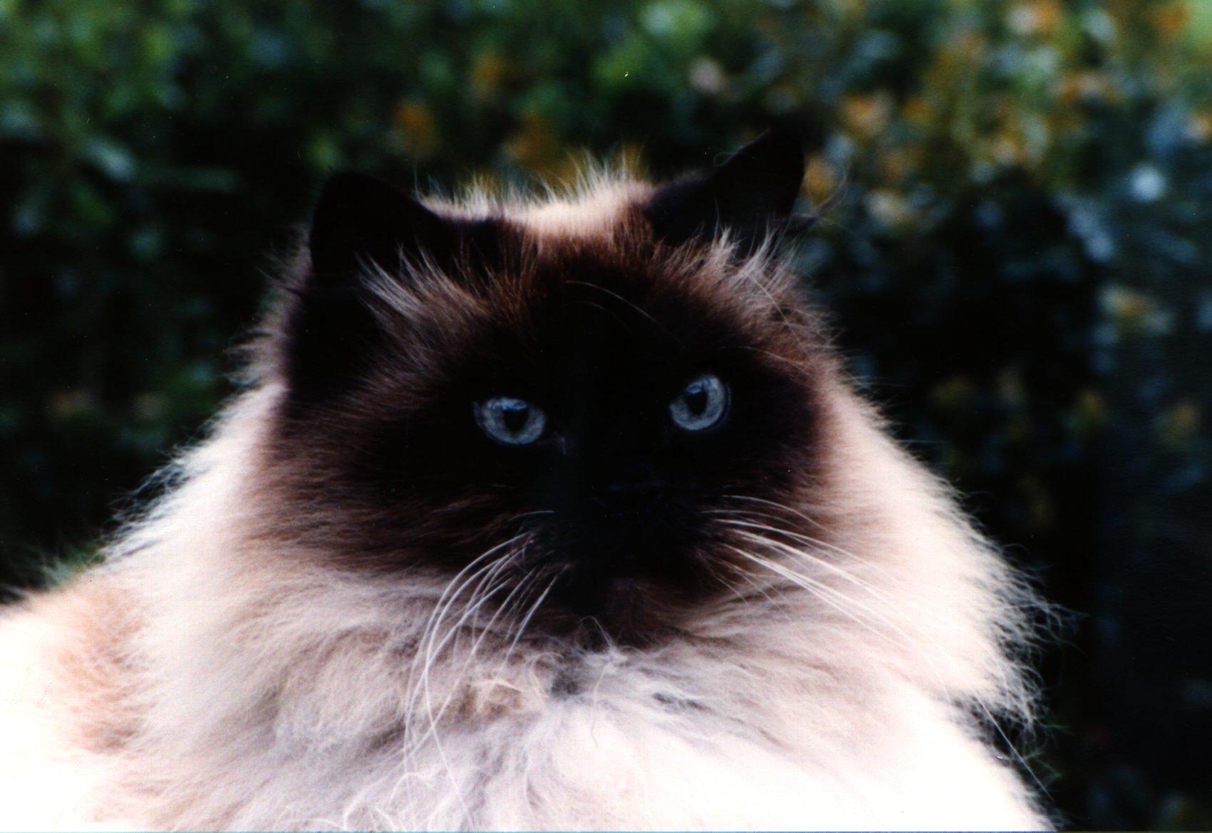Pisica Balineza Foto: www.pisicidevanzare.ro