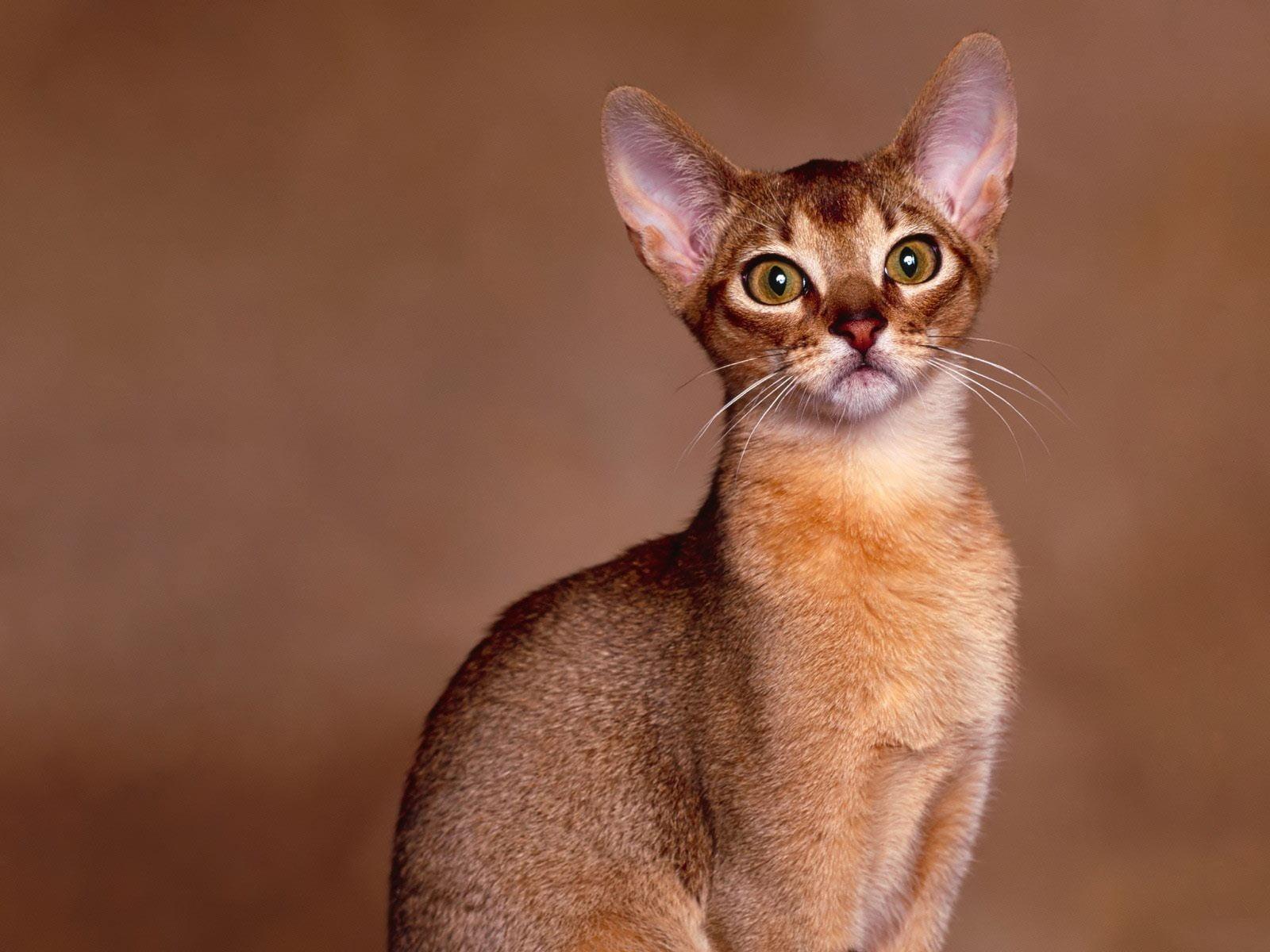 Pisica orientala Foto: animalia-life.com