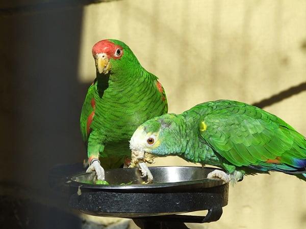 Papagali amazonieni Foto: animals.ekstrax.com