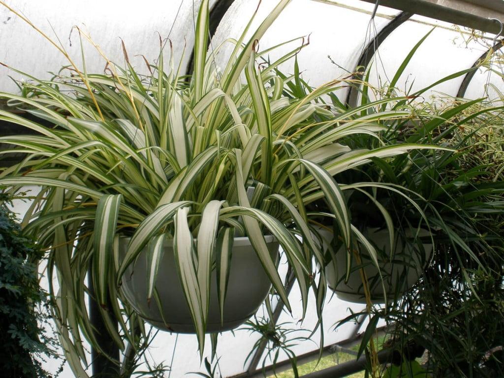 Clorophytum comosum, Foto: mylady.gr