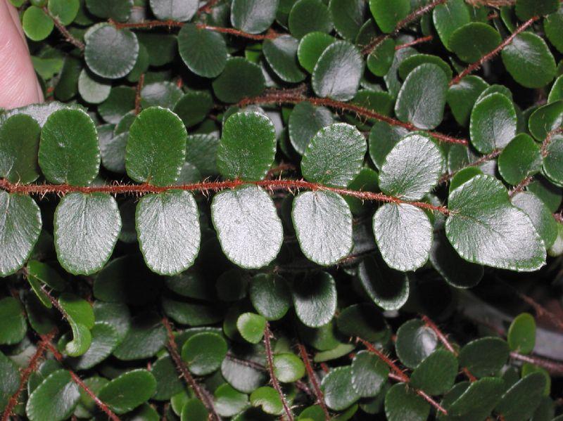Pellaea rotundifolia, Foto: plantsystematics.org
