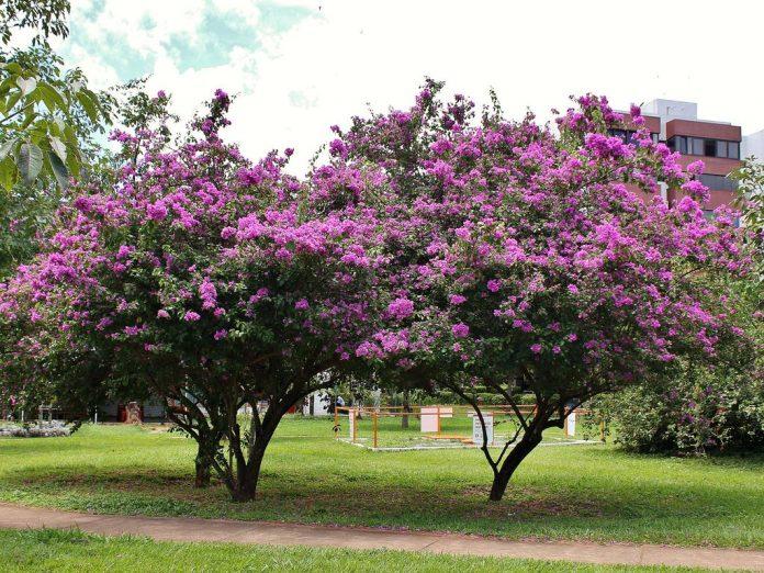 Plante de apartament ornamentale Bougainvillea spectabilis sau Floarea de hârtie