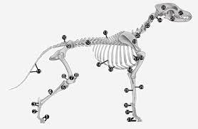 Anatomia cainilor, Scheletul