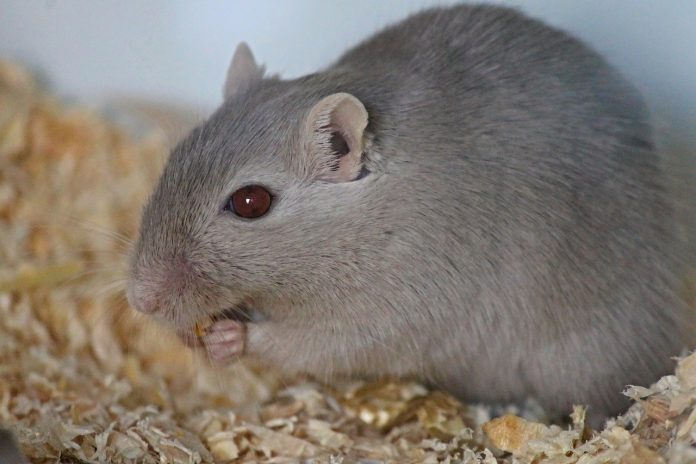 Animalul de companie Gerbili - Aspecte interesante despre viața acestor șoareci de deșert