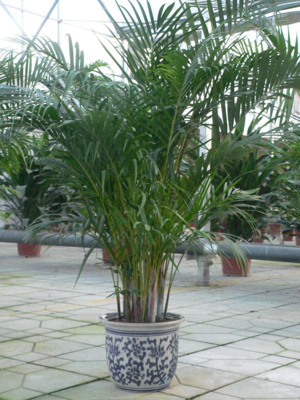 plante de apartament din specia palmier chrysalidocarpus lutescens areca cu frunze penate. Black Bedroom Furniture Sets. Home Design Ideas