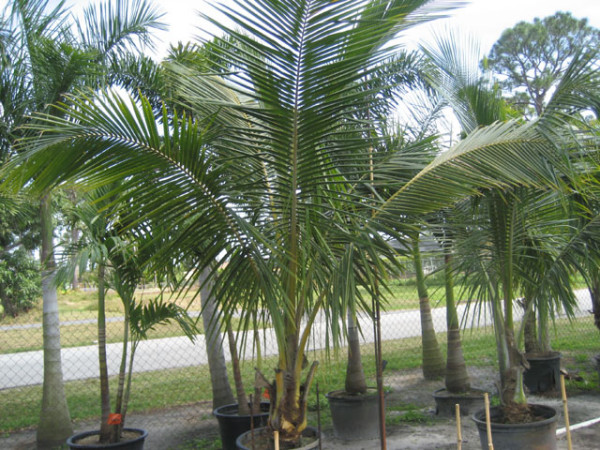 Cocos nucifera, Foto: petespalms.com