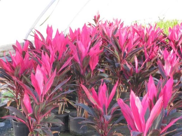 Cordyline fruticosa, Foto: hungvuongdalat.info