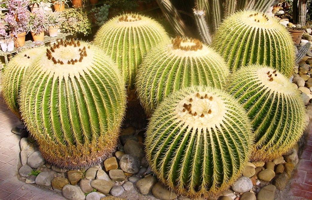Echinocactus, Foto: unsitodelcactus.it