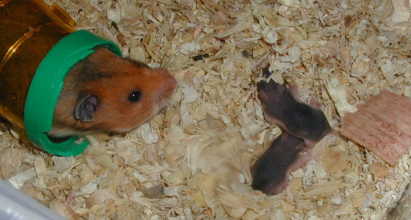 Cum traiesc hamsterii Foto: answersfrommen.com