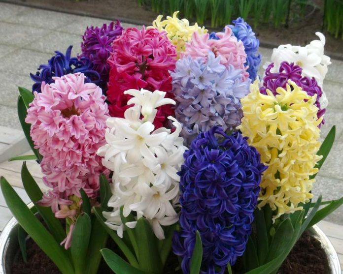 Hyacinthus orientalis, Foto: gardensonline.com.au