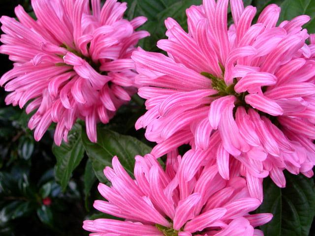Jacobinia, Foto: plantasonya.com.br