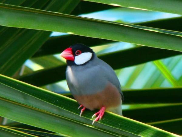 Pasarea Padda oryzivora, Foto: 2.bp.blogspot.com